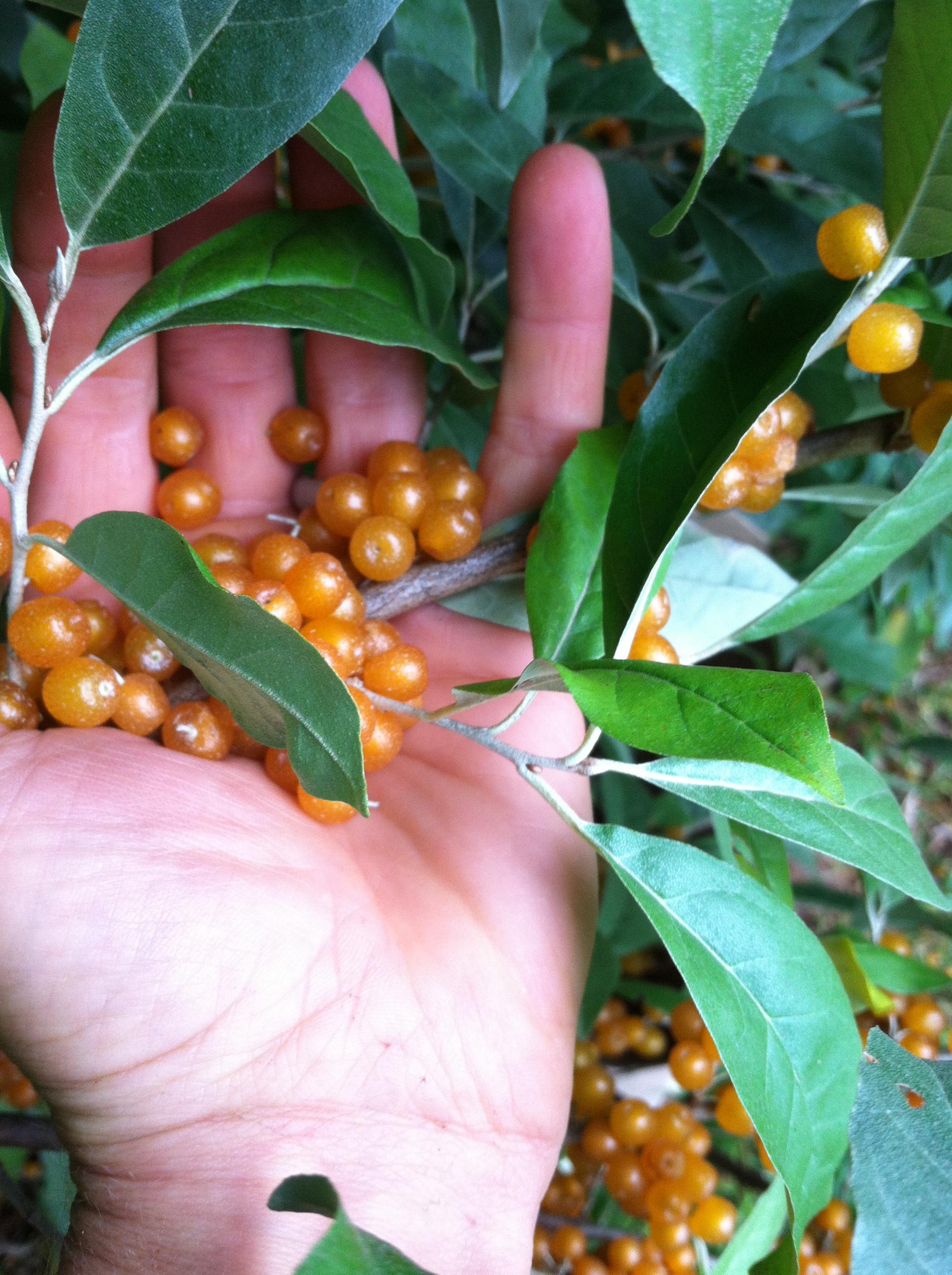 harvesting-autumn-olives